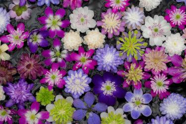 見頃の梅と菜の花&雪割草富山県大会 in 中央植物園(2019/3/9)
