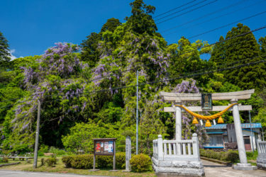 氷見市磯部神社 満開のヤマフジ(裏年)(2019/5)
