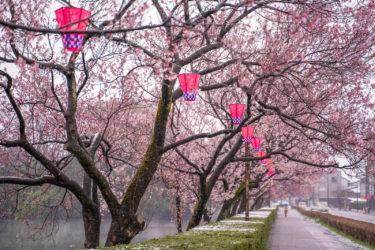 高岡古城公園の雪桜と満開の桜(2019/4)