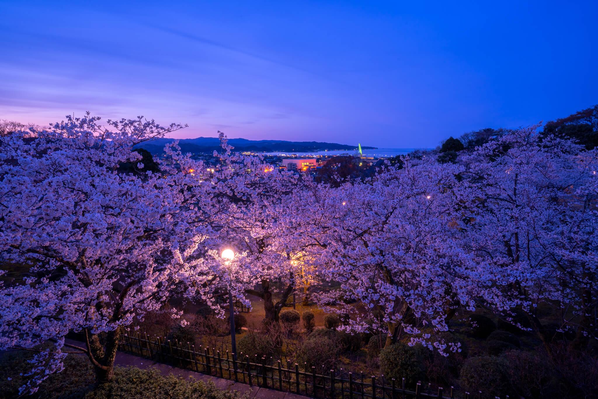氷見市朝日山公園の桜2019