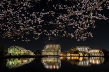 富山県中央植物園さくらまつり(夜桜ライトアップ)2021