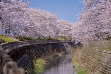 富山市磯部堤の満開の桜2021