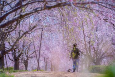 羽咋市千路町のしだれ桜2021(古永建設庭園)